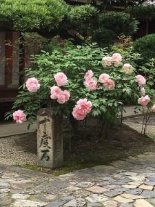 奈良町で見かけた牡丹