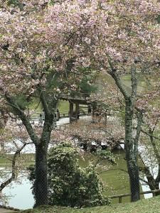 浮見堂周辺九重桜と馬酔木