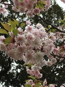 奈良公園九重桜